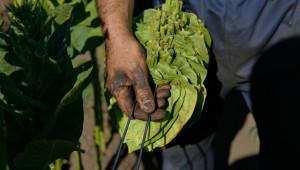 2019 г. в селското стопанство: Тютюнопроизводство