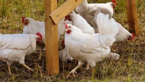 Световни експерти: Очаква се сериозно оживление на пазара на птиче месо