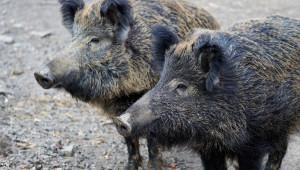 Груповият лов на дива свиня ще продължи до края на януари