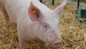 Заповед: Земеделци и берачи да стоят поне 48 часа далече от свине - Agri.bg