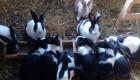 Зайци-Продавам - Снимка 1