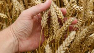 На борсите: Търговци подгряват цените на пшеницата