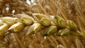 Борси: Цената на пшеницата търси нов таван в региона