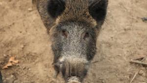 Нови случаи на АЧС при диви свине в 16 области в страната