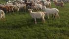 ЕЛИТНИ МЛАДО СТАДО 220 БР.  МЛЕЧНИ  кози започнаха да раждат  спешно! - Снимка 6