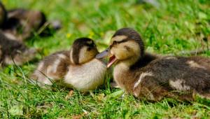 Птичият грип дойде: Първото огнище е във ферма за патици в Раковски