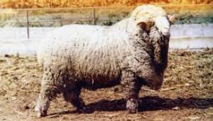 Тънкорунни породи овце