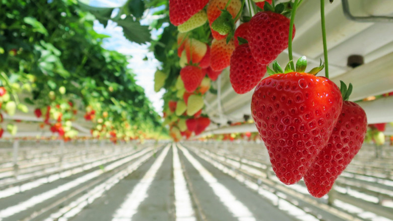 Най-важните изисквания на ягодите към климатичните условия и почвата