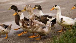Птичи грип – какво трябва да знаят фермерите?