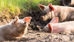 Крачкомер запали свинеферма