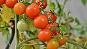 Магнезиевото гладуване при доматите е широко разпространено в оранжериите