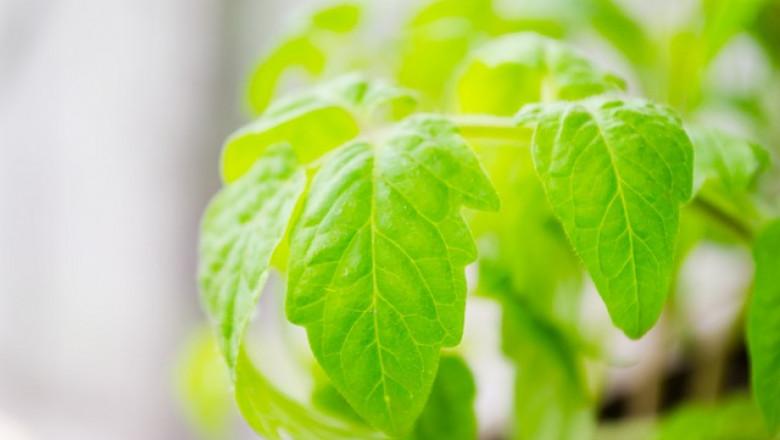 Сечене по разсада на доматите