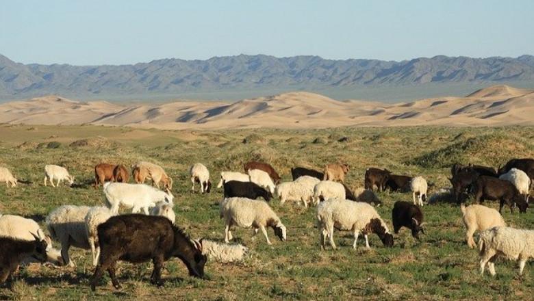 Остро подуване на търбуха при овцете и козите