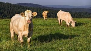 Каква е готовността на животновъдите да дават говеда за клане?