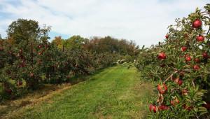 Торенето на овощните дървета е важен фактор за тяхното оптимално развитие