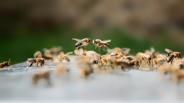 Предупреждение към пчеларите: Ще пръскат отново пшеницата в Плевенско