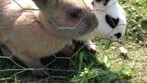 Храносмилателната система на зайците има особености