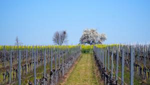 Мярката за застраховане на грозде: Приемът тръгва на 4 май