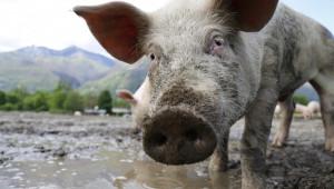 Водата е един от главните елементи на храненето на свинете