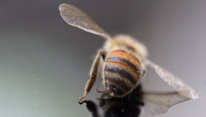 Пчелари за подмора: Не е пръскано за комари, а за хоботници