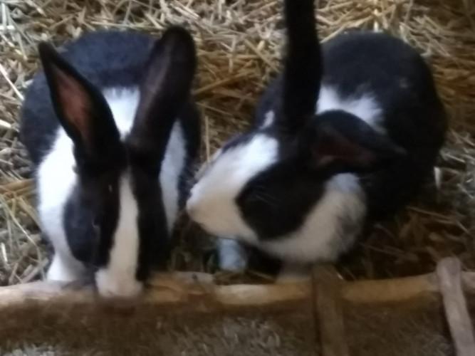 Продавам холандски зайци около 3кг. по 25 лв./ брой - Снимка 1