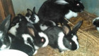 Продавам чистокръвни холандски зайци различни възрасти - Снимка 4