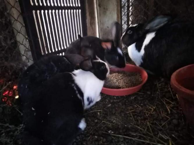 Продавам чистокръвни холандски зайци различни възрасти - Снимка 6