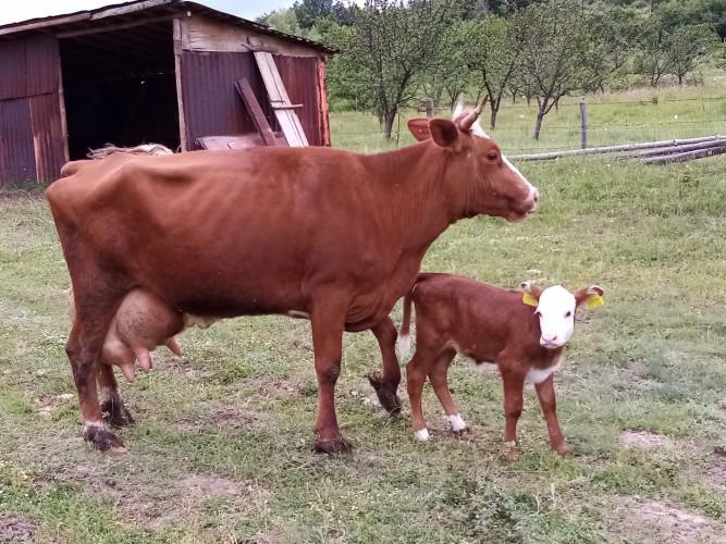Продавам крава на трето теле - Снимка 1