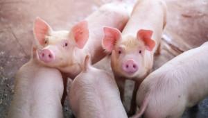 Агроиновации: Как да предсказвате болести по прасетата?