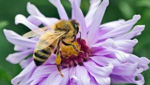 Eстествено отглеждани пчелни майки - как да ги използваме рационално?