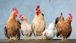 Използване на зелените фуражи за получаване на по-висока продуктивност на селскостопанските птици
