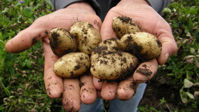 Лятното производство на картофи носи допълнителни доходи