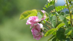 Мярка COVID-19 за рози: Министерството предлага 80–90 лв./дка - Agri.bg