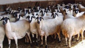 Порода овце Хиос