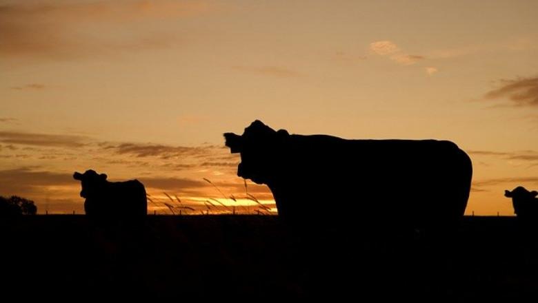 COVID-19 не успя да разколебае производството на говеждо месо