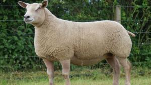 Мутон Шароле - порода овце специализирана за производство на месо