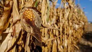 Грубите фуражи остават основен източник на фуражен протеин