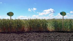 Рекорди: До 960 кг/дка от българска пшеница в Азия