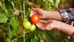 Кафявото набраздяване продължава да тормози доматите