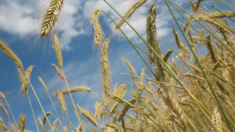 Пшеницата е с отчайващо ниски добиви във Великотърновско