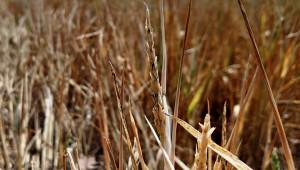 Суша и грешки - причини за лошата реколта от пшеница