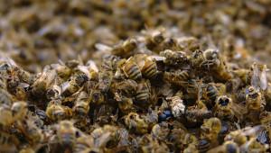 Масовият мор на пчели да се наказва със затвор