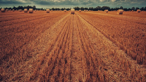 Дъждове спряха жътвата на последните пшенични ниви