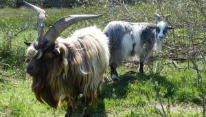 Хранене на лактиращи кози