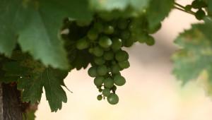 ДФЗ изплати над 200 хил. лева за застраховане на реколтата от вино