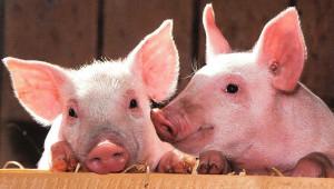 Свиневъди сами се отказват да регистрират личните си стопанства