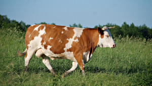 Какви са причините за абортите при кравите?