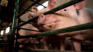 Здраве и здравеопазване на свинете