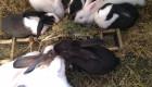 СПЕЦИАЛНА ОФЕРТА!!! Продавам холандски зайци  по 3 кг. - Снимка 1