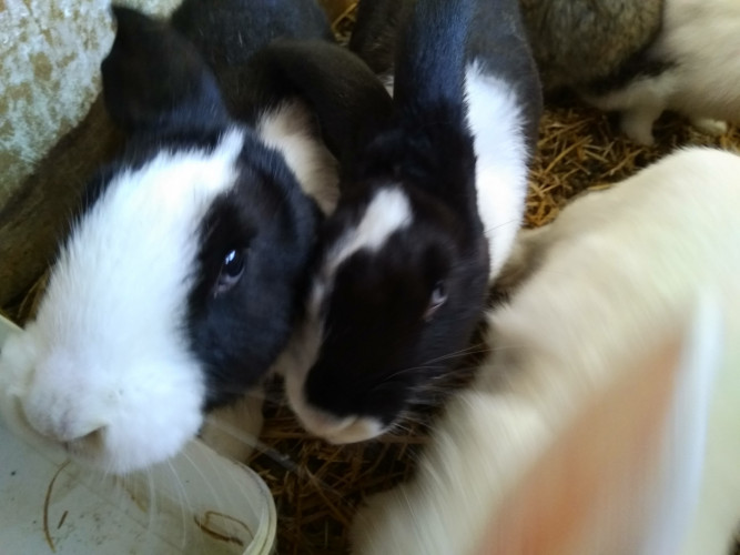СПЕЦИАЛНА ОФЕРТА!!! Продавам холандски зайци  по 3 кг. - Снимка 2